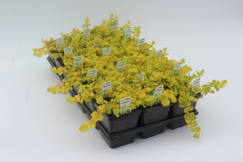 Creeping Jenny Accent 3.5 Inch