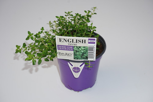 Herb Thyme 4 Inch