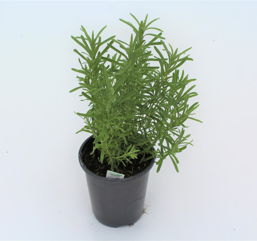 Herb Lavender 4 Inch