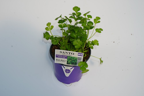 Herb Cilantro 4 Inch