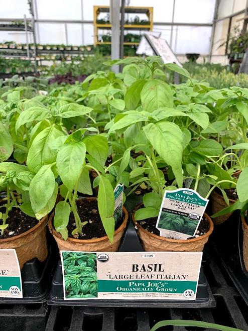 Herb Sweet Basil 4 Inch