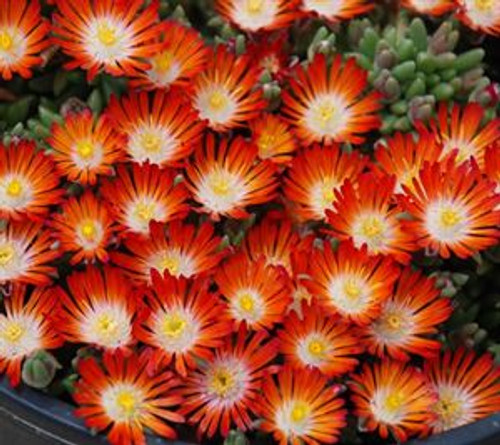 Delosperma Pumpkin Perfect 4 Inch