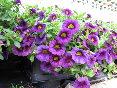 Calibrachoa Purple 4.3 Inch
