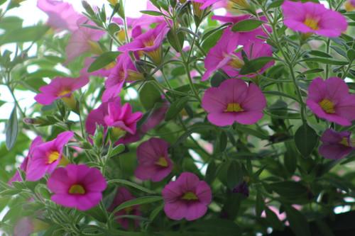 Calibrachoa Pink 4.3 Inch