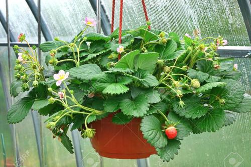 Strawberry Hanging Basket 10 Inch