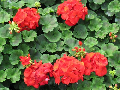Geranium Zonal Red 4.3 Inch
