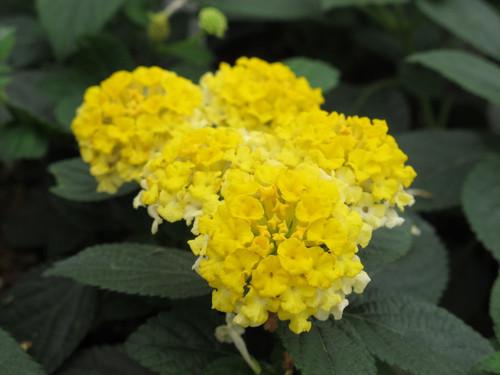 Lantana Yellow/Lemon 4.3 Inch