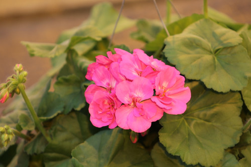 Geranium Zonal Pink 4.3 Inch