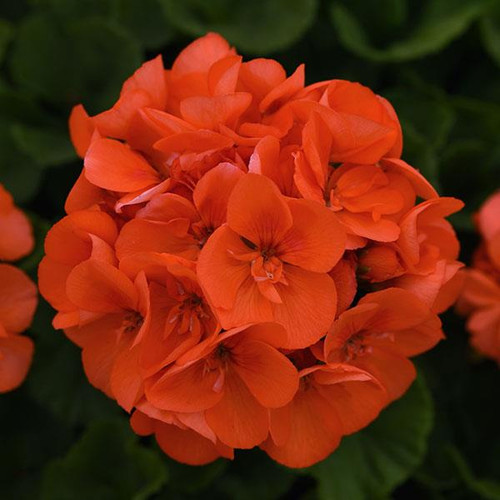 Geranium Zonal Orange 4.3 Inch