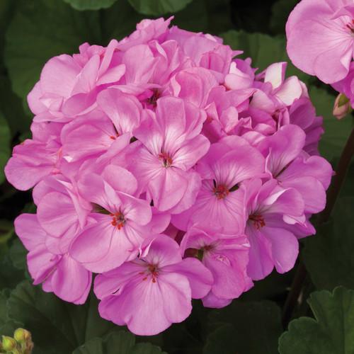 Geranium Zonal Purple 4.3 Inch