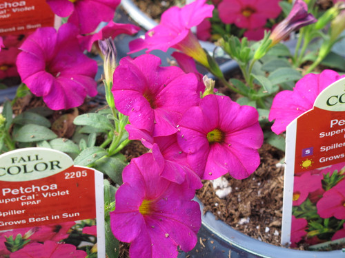 Petunia Supercal Violet 4.3 Inch