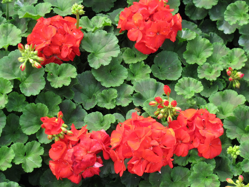 Geranium Zonal Red - 4.3 Inch