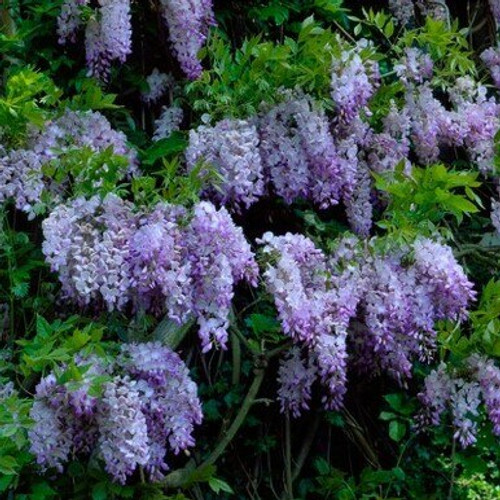 Wisteria Amethyst Falls Staked 5 Gallon