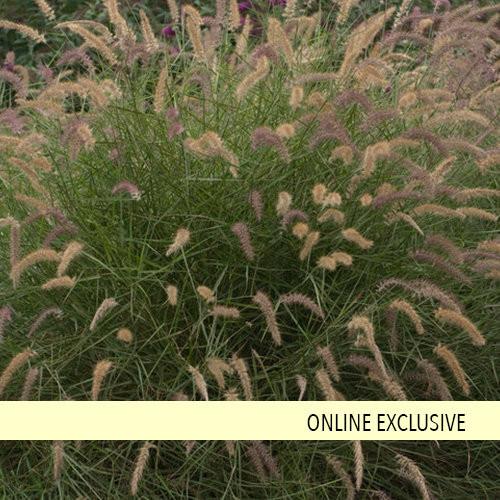 Grass 'Karley Rose' 3 Gallon