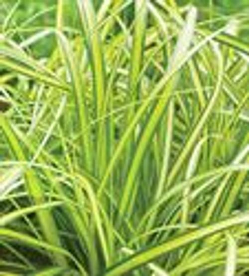 Sedge Grass Eversheen 1 Gallon