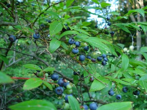 Native Blueberry Highbush 1 Gallon