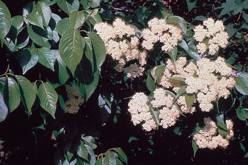 Native Viburnum Nannyberry  3 Gallon