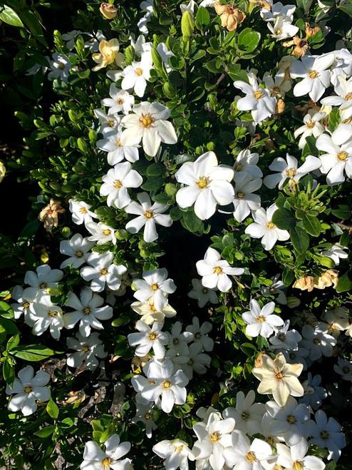 Gardenia 'Hardy Daisy' 3 Gallon