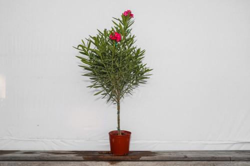 Oleander Tree 3 Gallon