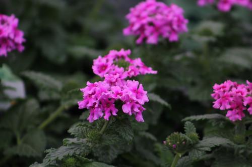 Verbena EnduraScape™ Pink 14.99