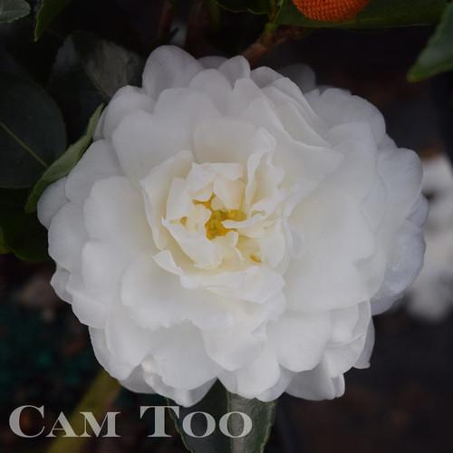Small to medium, white semi-double camellia flower