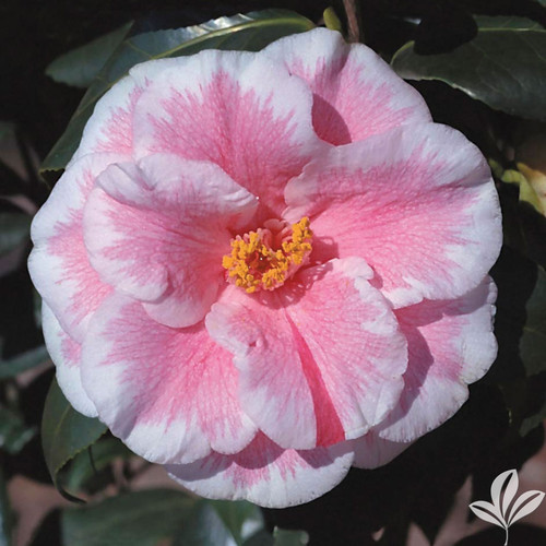 Camellia Lady Vansittart 3 Gallon