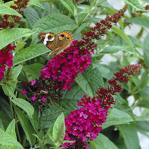 Deep pink blooms atop 'Miss Molly' Butterfly Bush