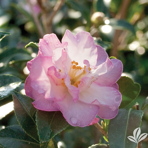 Pale pink/white semi-double camellia flower.
