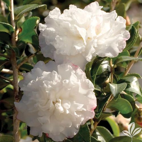 White, semi-double camellia flowers.