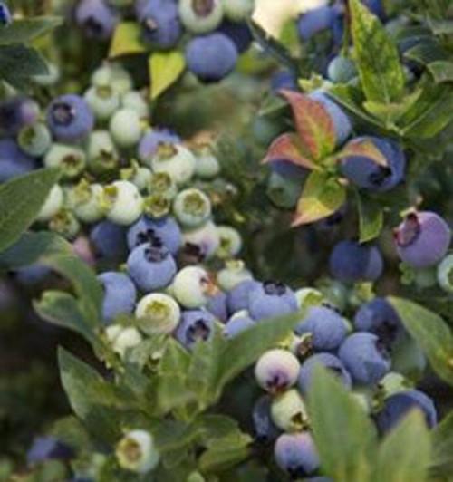 Blueberry 'Jelly Bean' 2 Gallon