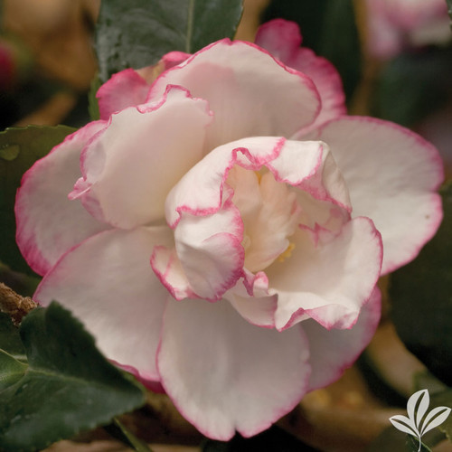 Pale pink, loose semi-double camellia flower.