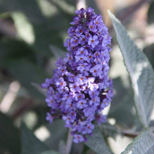 Dense, cone-shaped cluster of light purple blooms on Buzz™ 'Lavender' Butterfly Bush