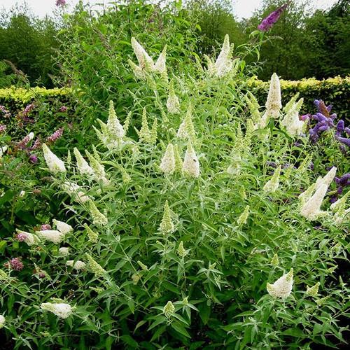 Buzz™ 'Ivory' Butterfly Bush in bloom