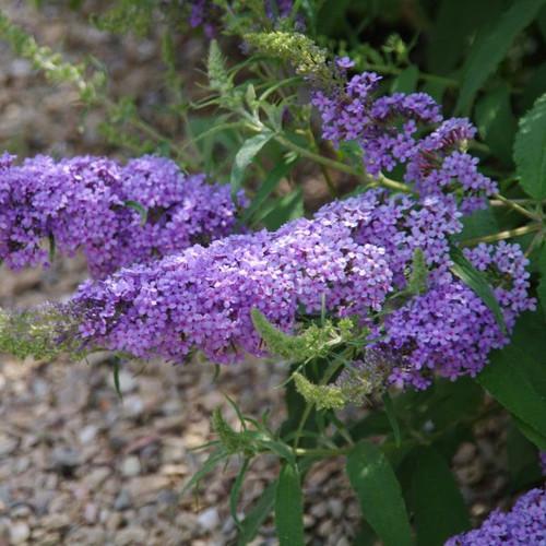 Violet-blue blooms on Buzz™ 'Sky Blue' Butterfly Bush