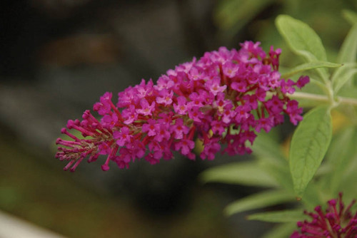 Cluster of violet-red blooms atop Buzz™ Magenta Butterfly Bush.