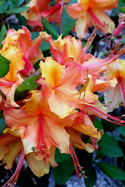 Bright orange & golden-peach trumpet-shaped azalea blooms