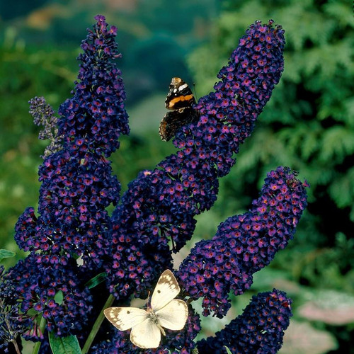 Conical clusters of deep indigo-colored blooms on butterfly bush