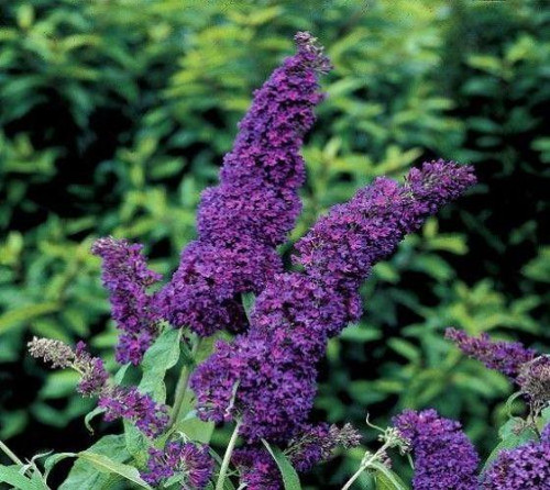 Clusters of deep purple blooms atop Buzz™ Midnight Butterfly Bush.