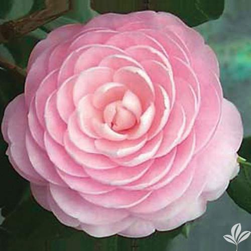 Camellia PINK PERFECTION     3 Gallon