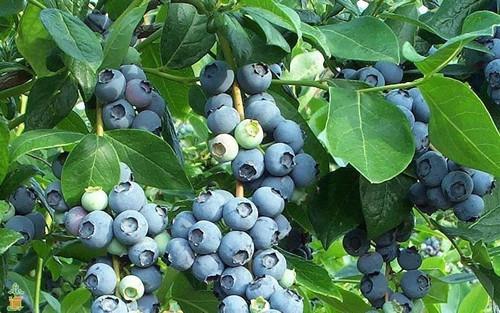 Tifblue berries on bush