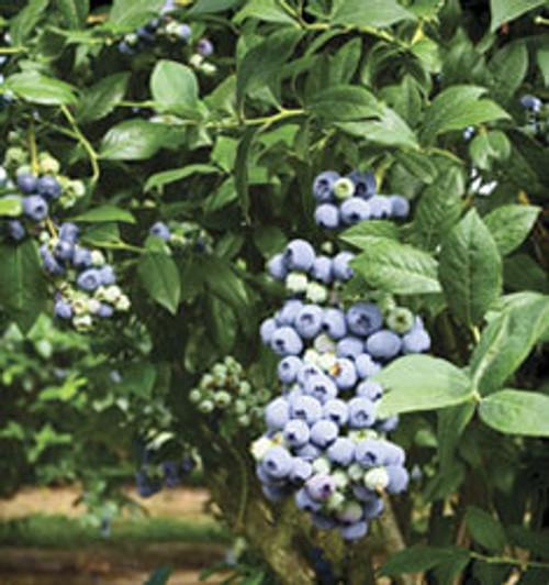 Blueberry 'Tifblue' 3 Gallon