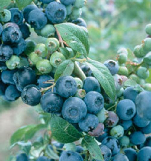 Blueberry 'Climax' 3 Gallon