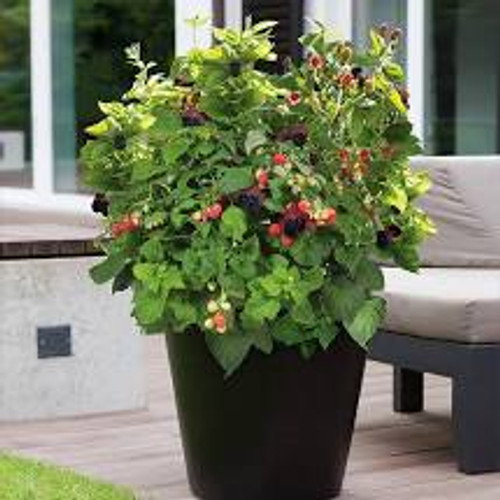 Baby Cakes® bush in patio container