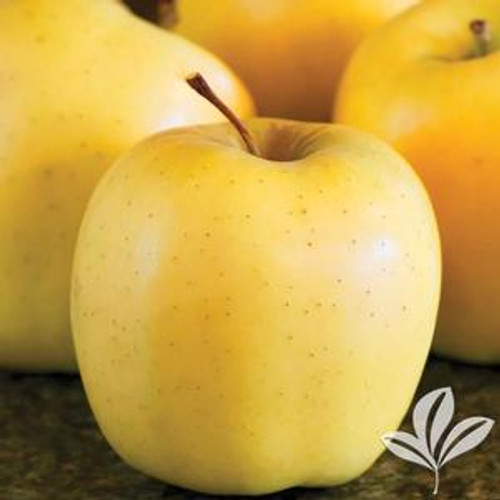 Apple 'Golden Yellow Delicious' 5 Gallon