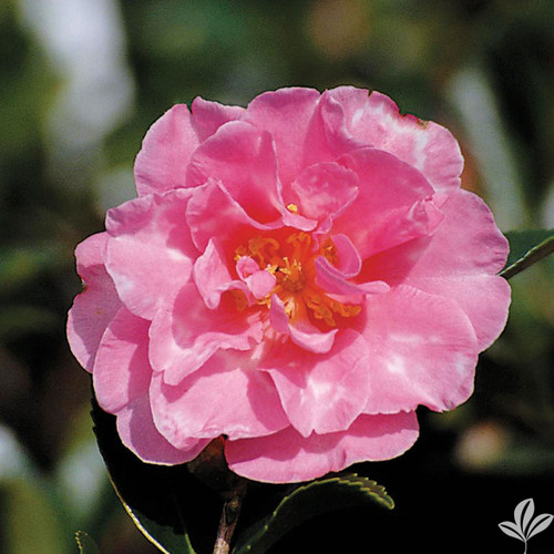 Soft pink, semi-double camellia flower
