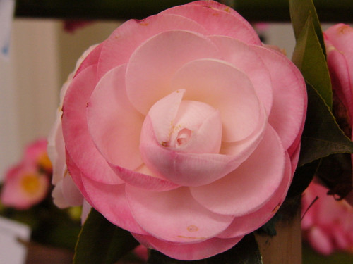 Blush pink, formal-double camellia flower