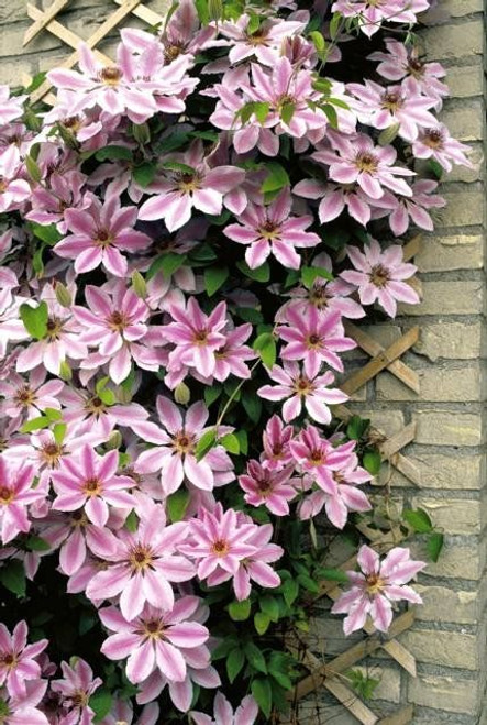 Clematis Nelly Moser #5