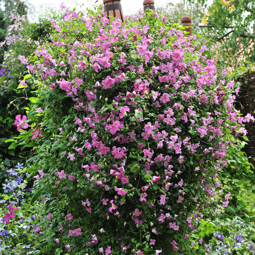 Clematis Evergreen Pink 5 Gallon