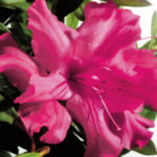 True pink, single-form azalea bloom