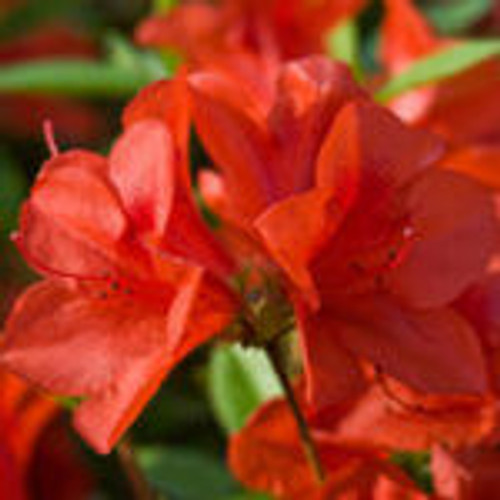 Bright red-orange single-form azalea blooms